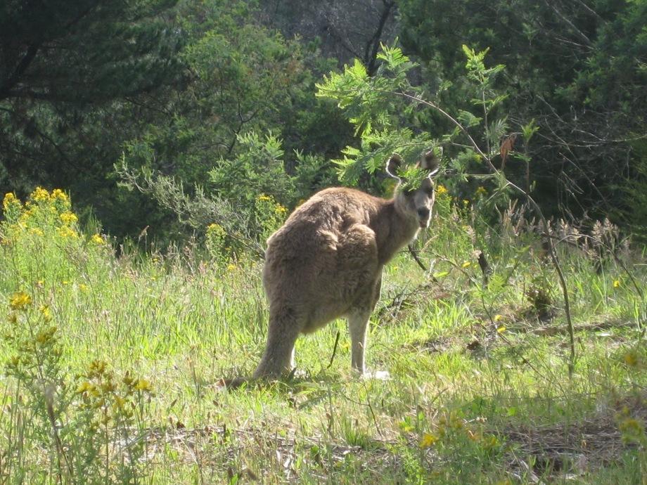 hill-end-kangaroo-261108