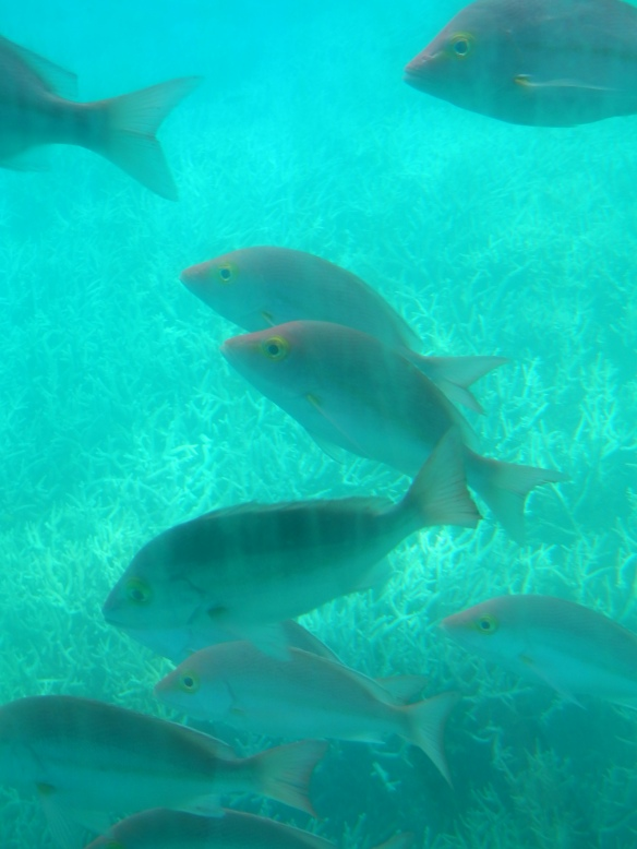 Fish near Heron Island