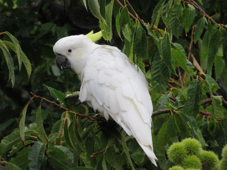 Cockatoo in chestnut tree