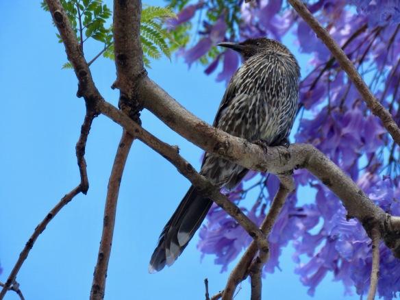 Little wattlebird in jacaranda tree at Kiama
