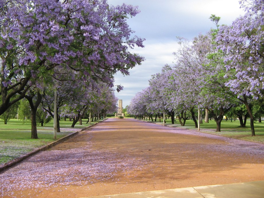 Avenue of jacarandas in Victoria Park, Dubbo
