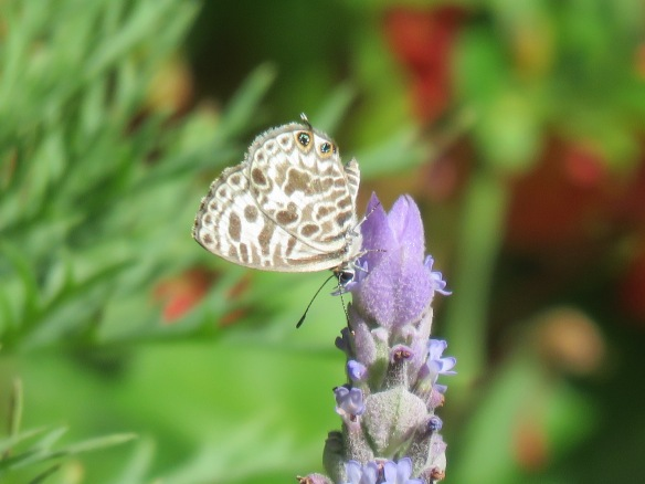 Plumbago blue/zebra blue butterfly enjoying lavender flowers