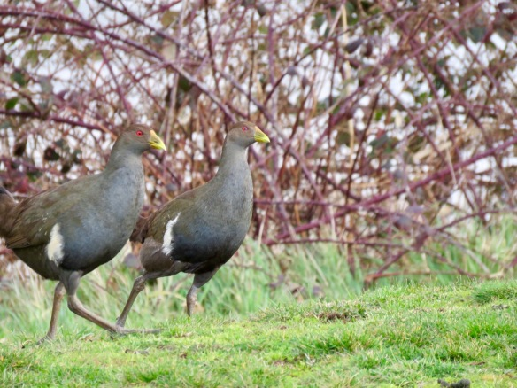 Tasmanian Native Hens