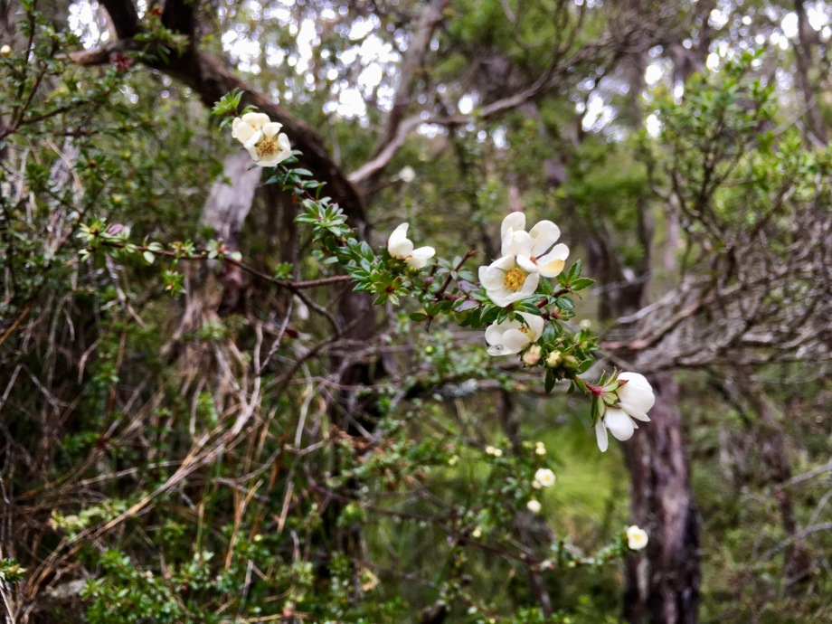 Tea tree blossoms