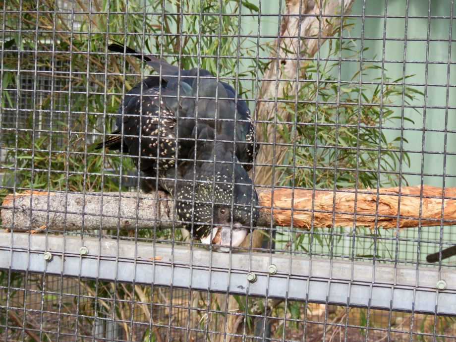 Carnaby's black cockatoo