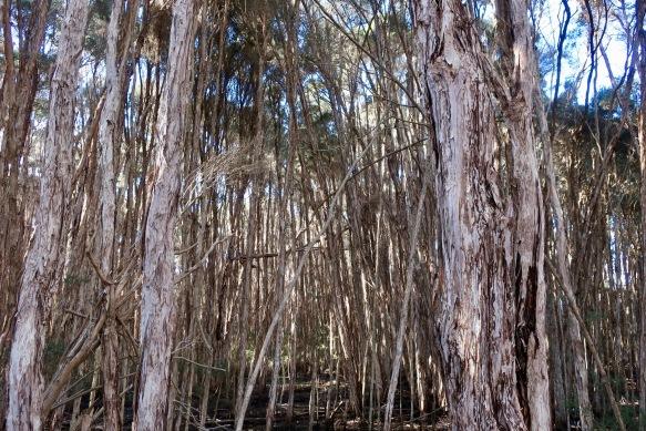 Swamp paperbark