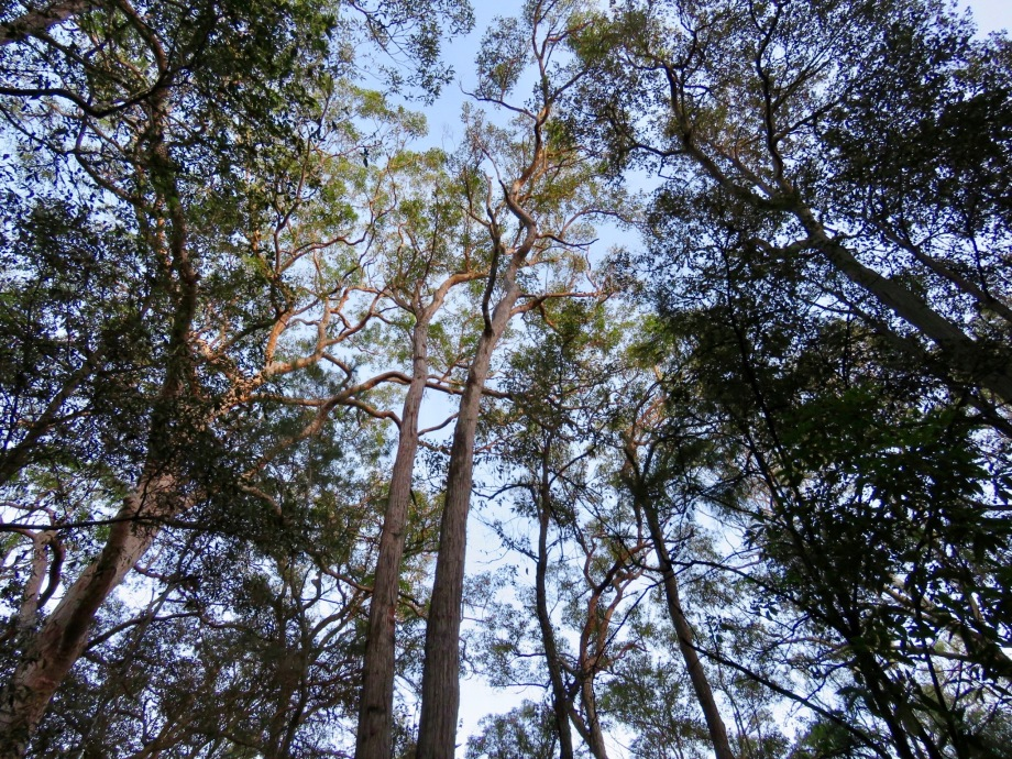 Tree canopy at Wallumatta Nature Reserve