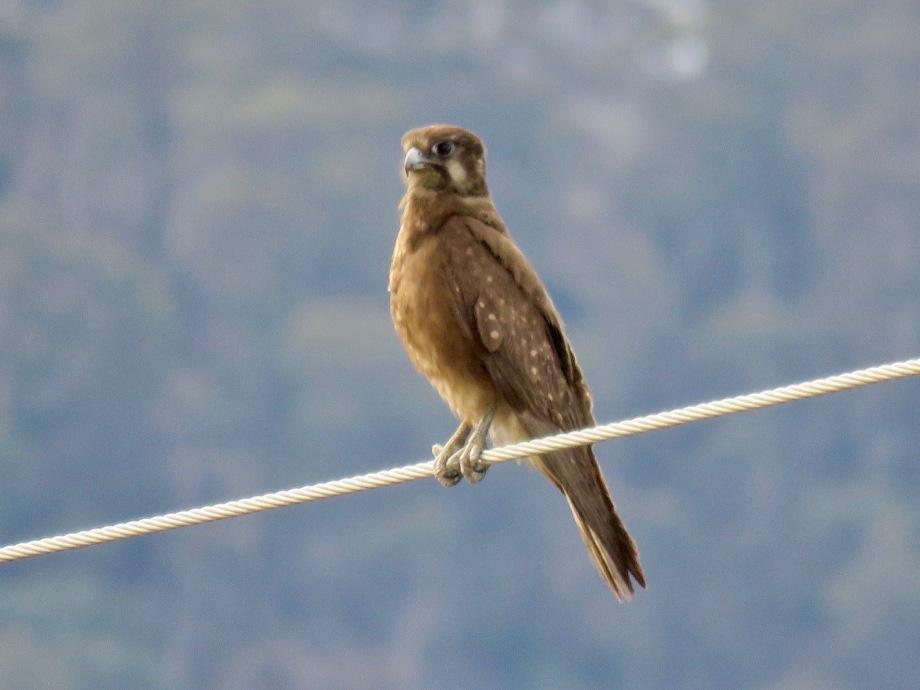 Brown Falcon, Hartley Vale