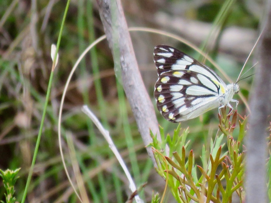 Caper white butterfly (Belenois java)