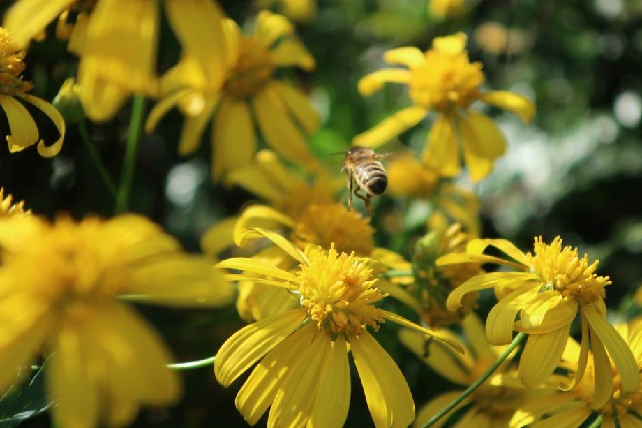 Yellow Daisy Bush (Euryops pectinatus) with a hovering bee