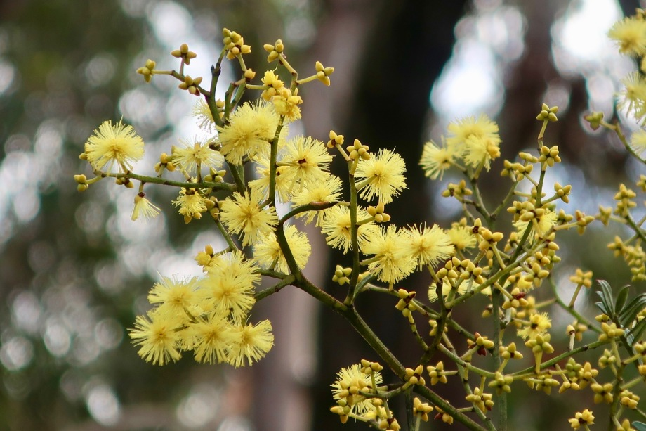 Winter wattle at Blackheath