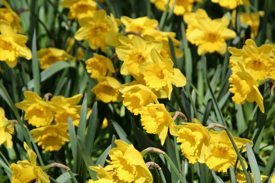 Daffodils swaying in the breeze