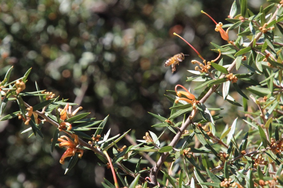 Bee enjoying grevillea