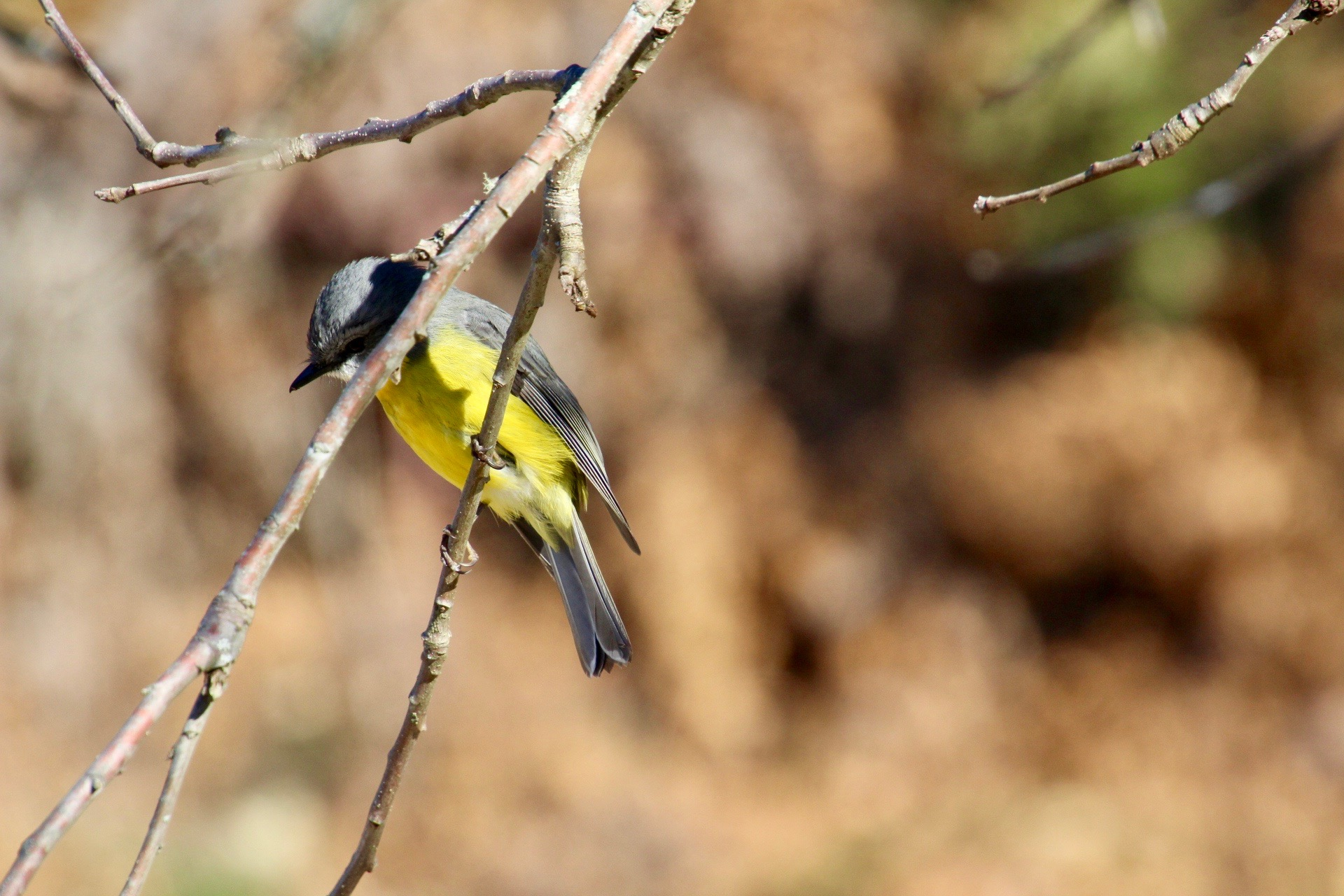 Eastern Yellow Robin (Eopsaltria griseogularis)