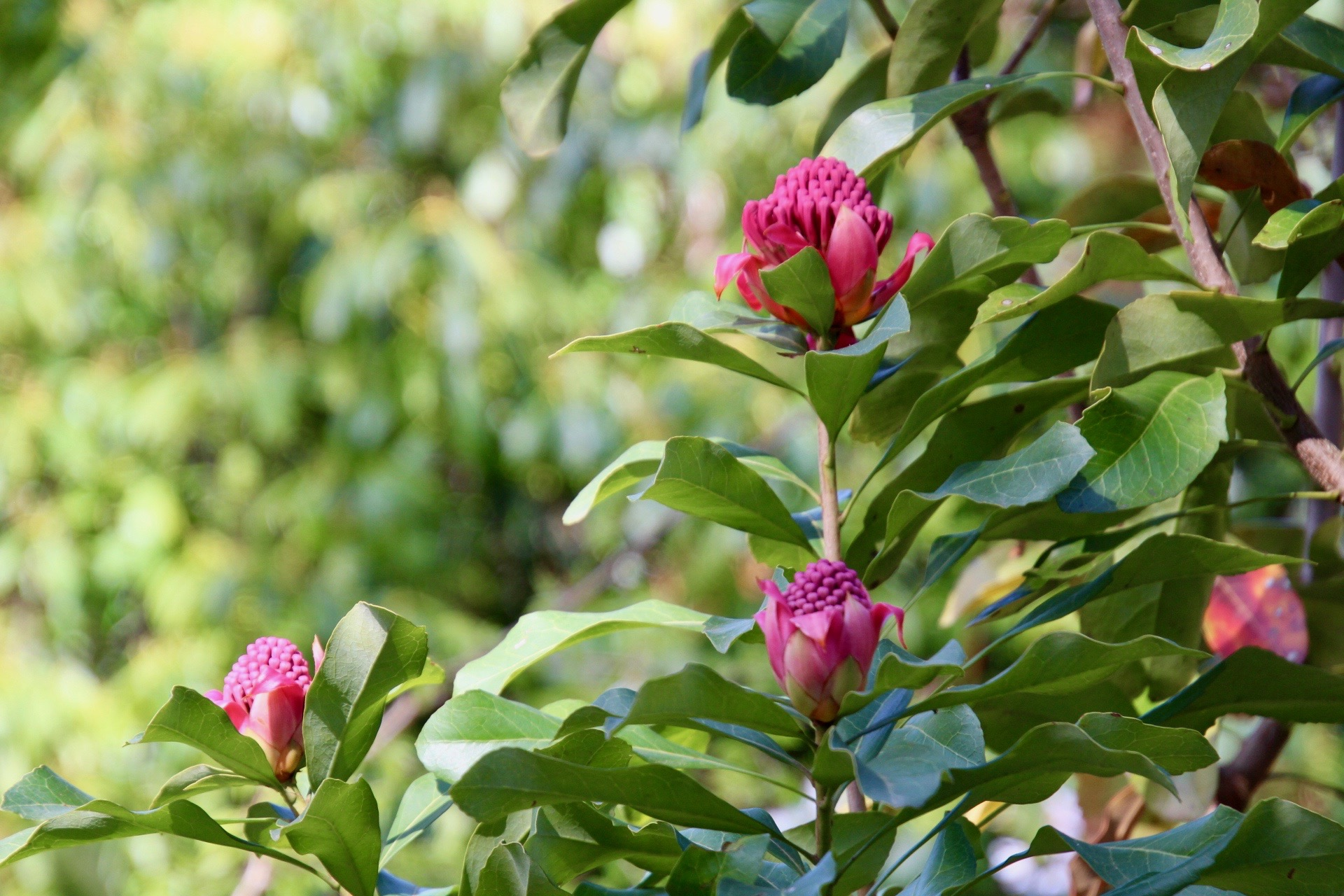 Waratahs in bloom