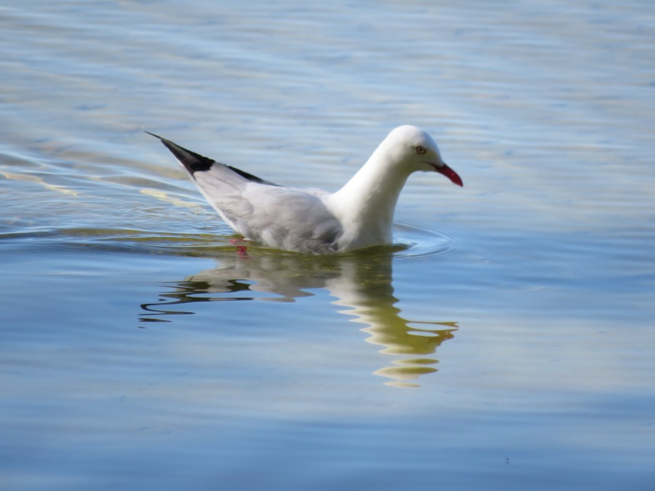 Seagull on Myall Lakes