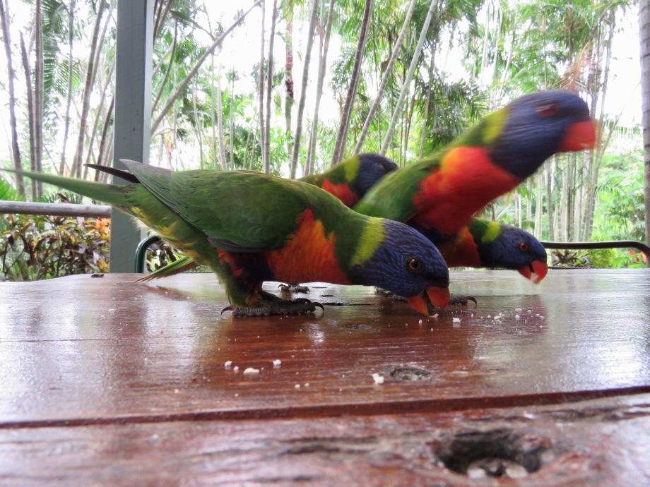 Rainbow lorikeets at Rockhampton Botanic Gardens