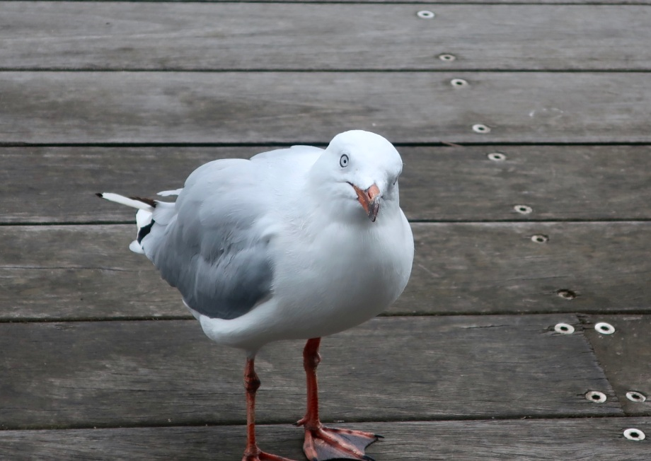 An expectant seagull, Docklands