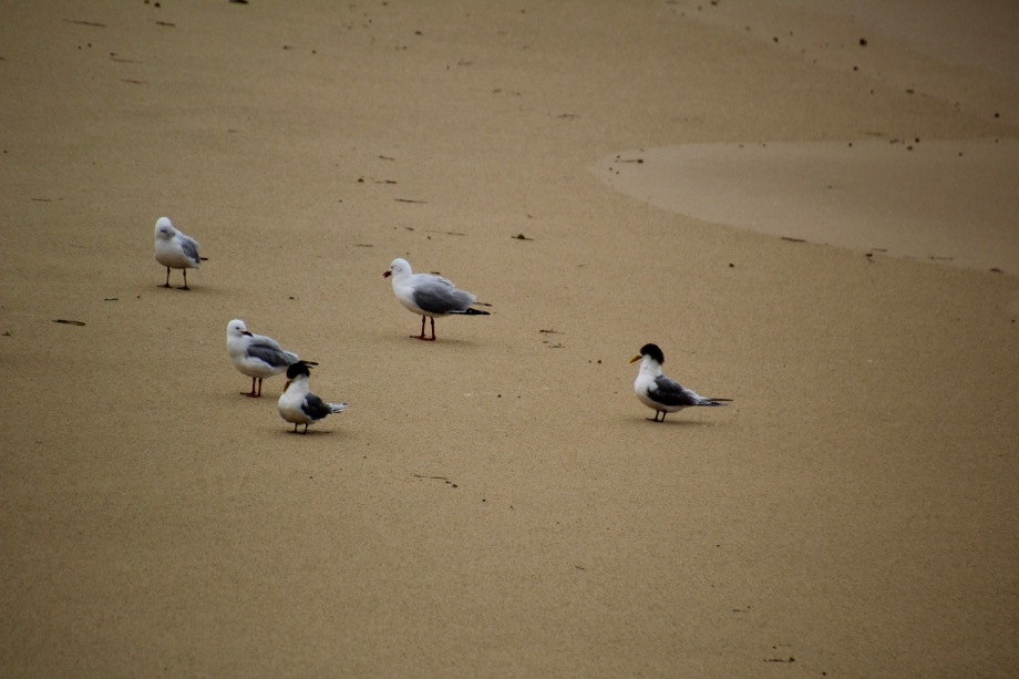 Crested terns and silver gulls, Newcastle