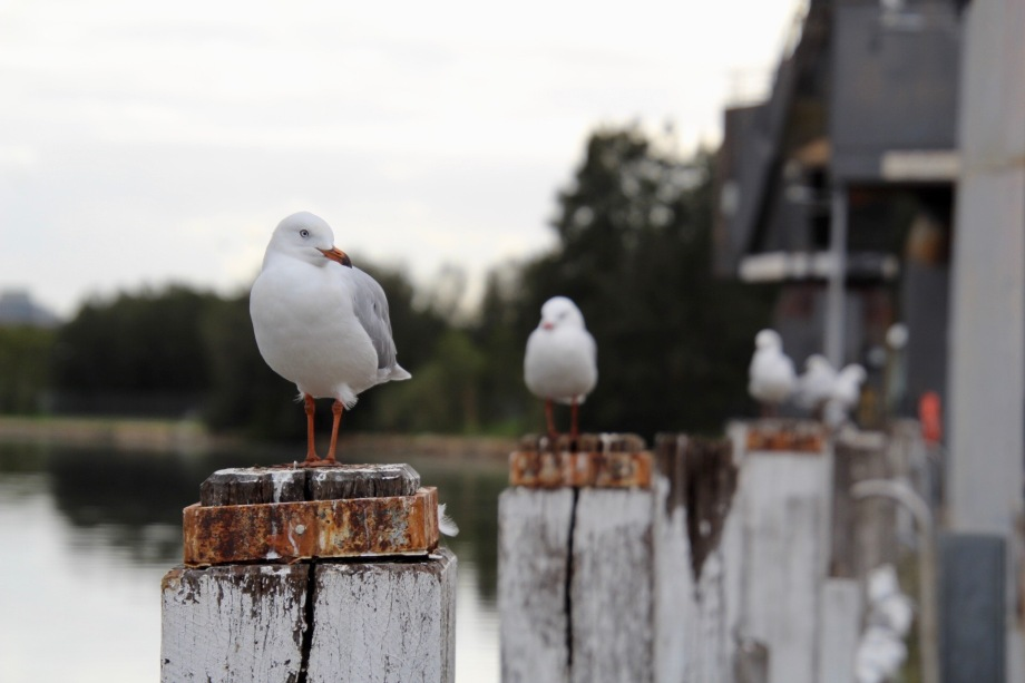 Seagulls on Parramatta River, Newington