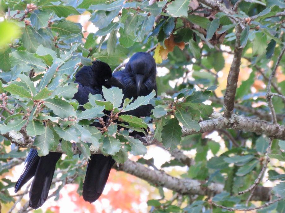 Australian Ravens (Corvus coronoides)