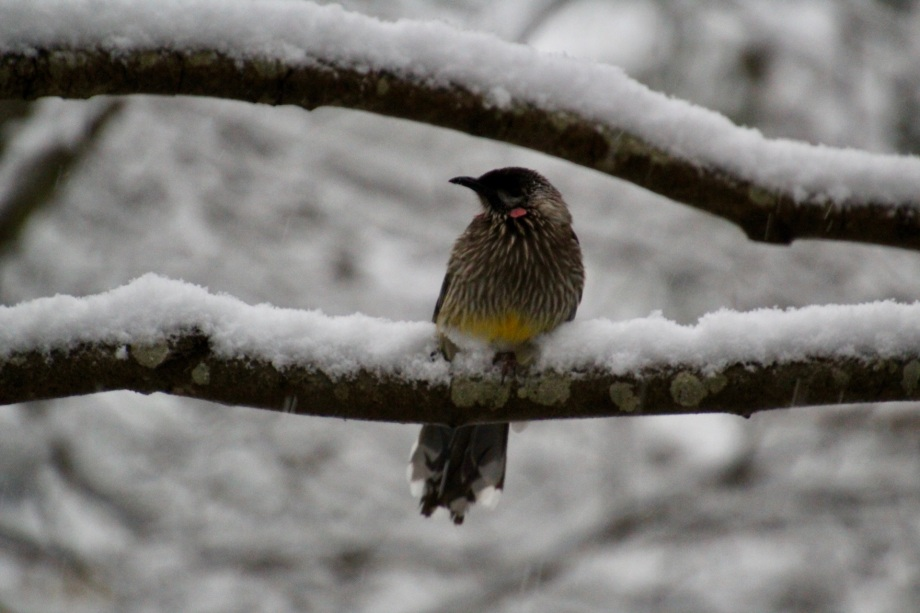Red wattlebird in the snow