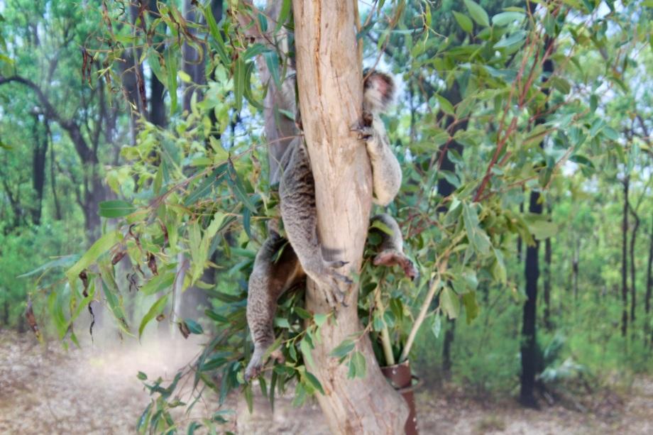 Koala at Wildlife Sydney Zoo