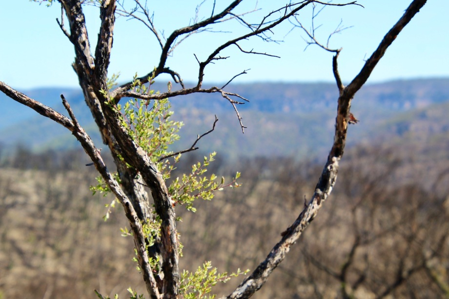 New shoots on a tree after the fires