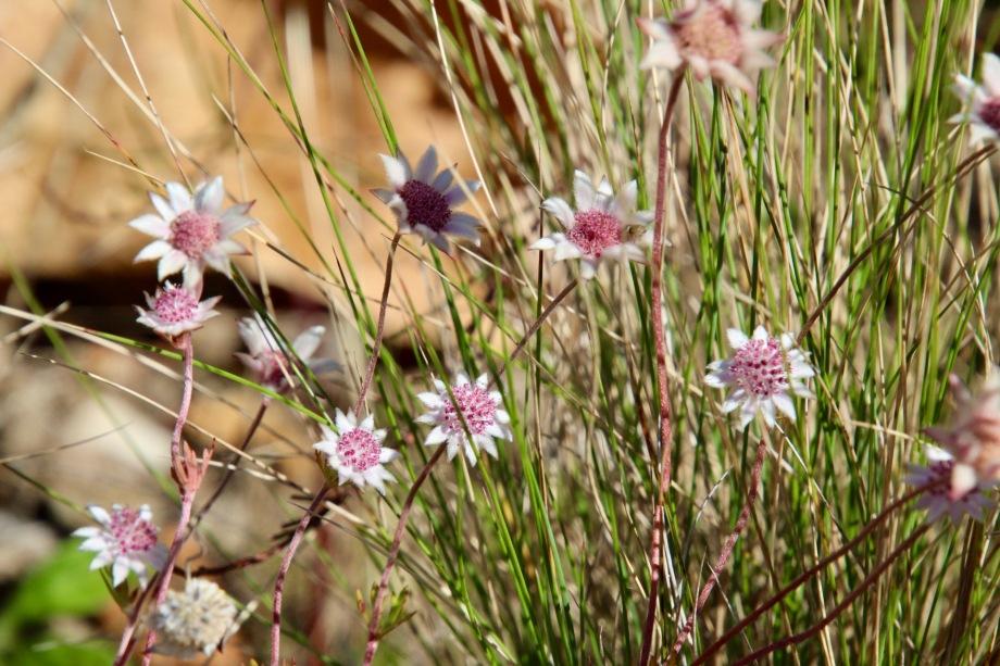 Pink flannel flower (ActinotusForsythii)