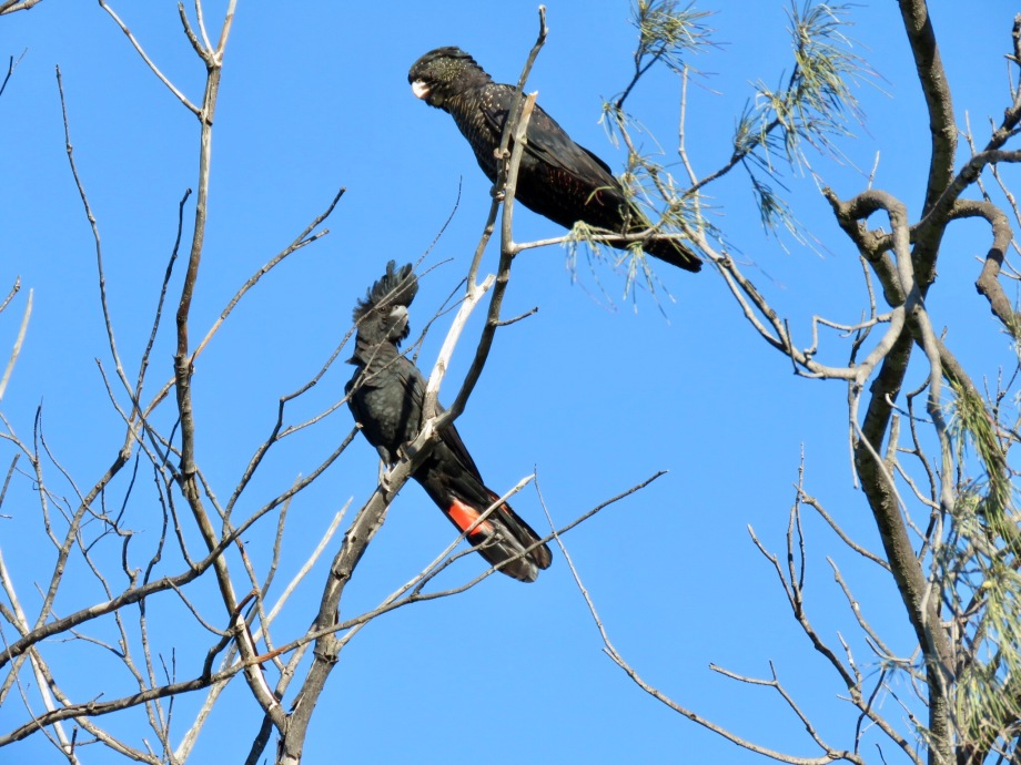 Male and female red-tailed black-cockatoos