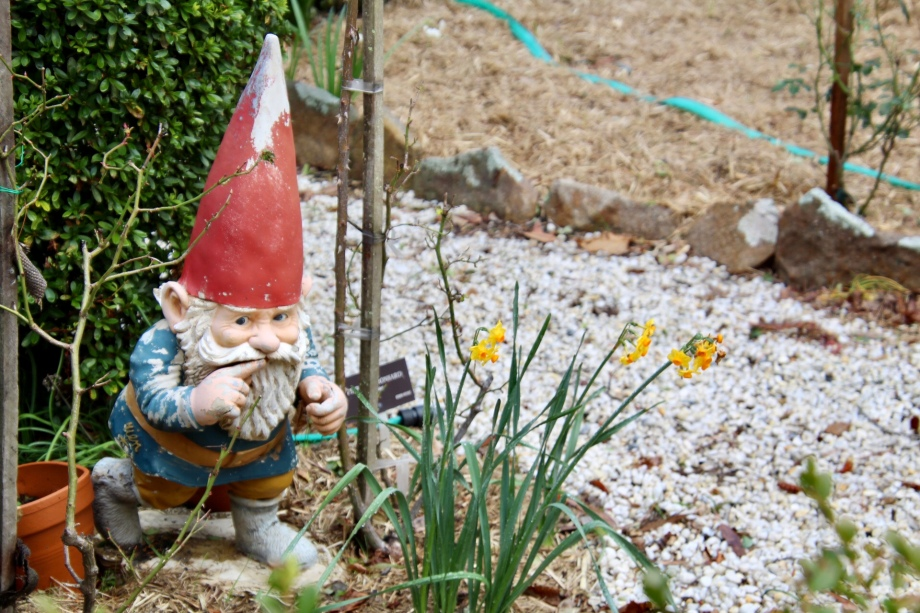 The shushing gnome peering amongst winter blooms