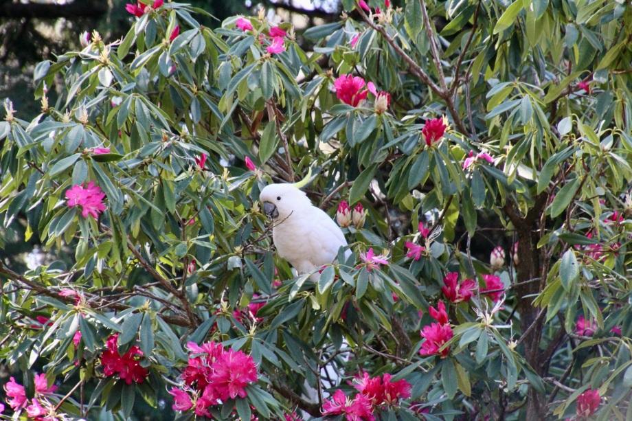 Sulphur-crested Cockatoo (Cacatua galerita) enjoying the rhododendron flowers